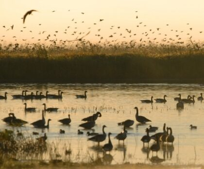 A group of ducks swim in a south dakota wetland at dusk. Some can be seen flying, standing in the water or swimming.